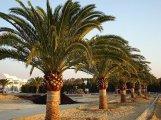 Canary Island Date Palm