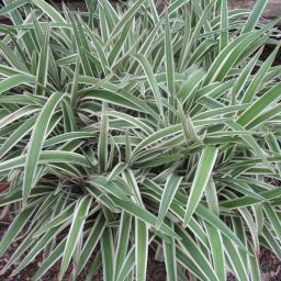 Dianella Flax Lily