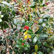 Dwarf Bufordi Holly