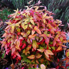 Fire Power Nandina