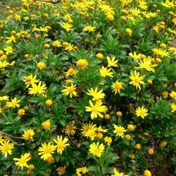 Bush Daisy