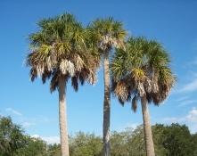 Sable Palm