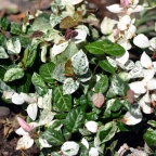 Tri Color Jasmine