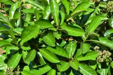 Viburnum Odoratissum
